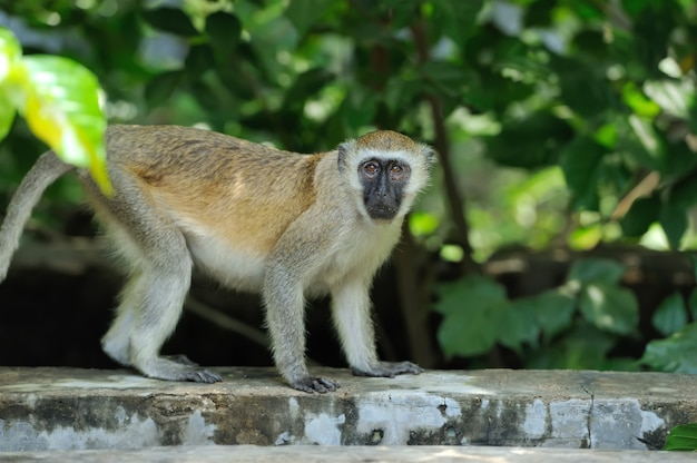 Fermer le singe vervet dans le parc national du kenya, afrique