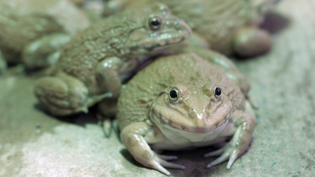 Fermez beaucoup de grenouilles des champs dans une ferme aquacole en thaïlande