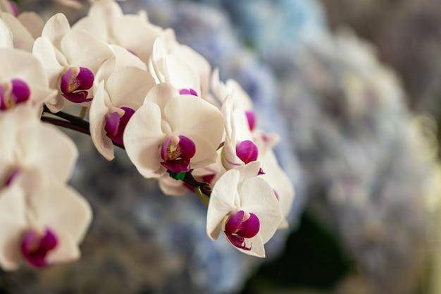 Fermez de belles orchidées phalaenopsis pourpres ou une orchidée papillon dans un jardin.