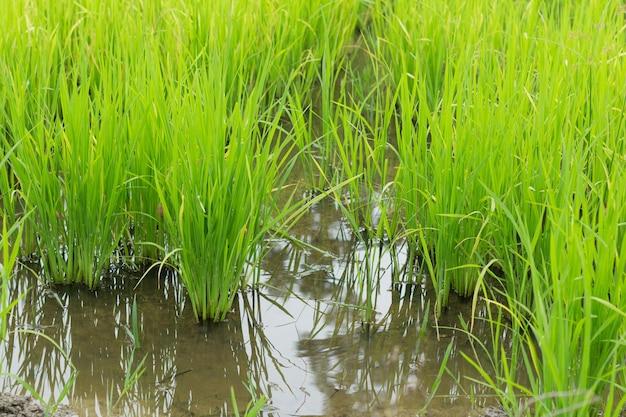 Fermez le champ de riz vert dans la rizière en saison des pluies