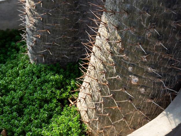 Fermez les épines sur le tronc du cactus dans le grand pot en béton. détail de gros plan du tronc épineux du palmier de madagascar (pachypodium lamerei). fond naturel vert.