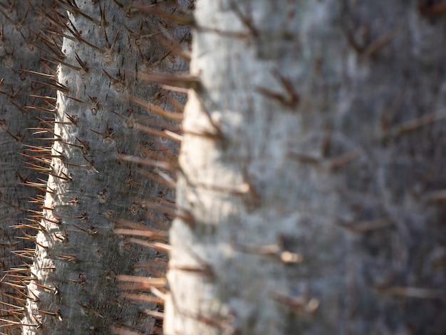 Fermez les épines sur le tronc du cactus. détail de gros plan du tronc épineux du palmier de madagascar (pachypodium lamerei). fond naturel vert.
