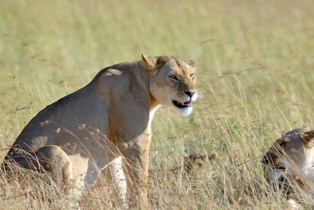 Fermez le lion dans le parc national du kenya