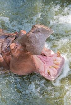 Fermez le museau de la bouche ouverte d'hippopotame.