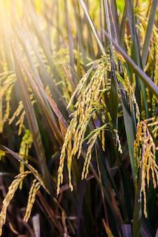 Fermez les oreilles de paddy ou de riz dans un champ biologique,