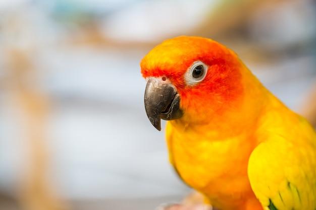 Fermez la tête et la souris de la perruche de sun ou de l'oiseau perroquet jaune et orange de sun conure