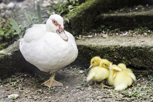 Fermez la vie de canards dans la ferme