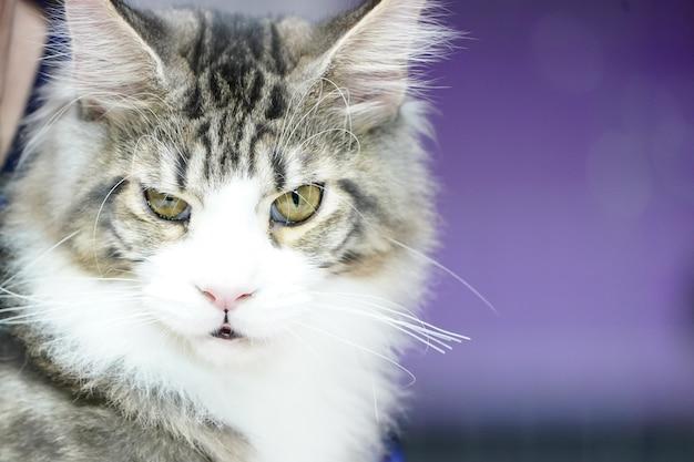 Fermez le visage de chat tigre et de longues moustaches de longs cheveux blanc-brun.
