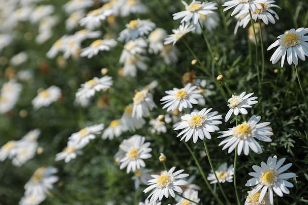 Fermez-vous vers le haut d'un champ des fleurs de marguerite fleurissent en été