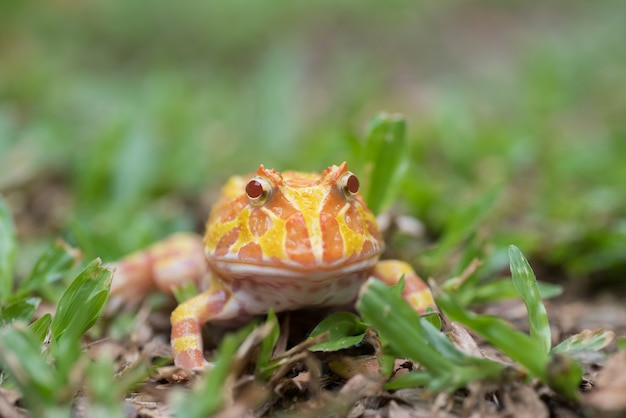 Fermez-vous vers le haut de la grenouille cornue argentine au sol