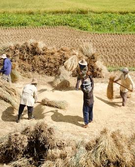 Fermier, battage, grain, ferme