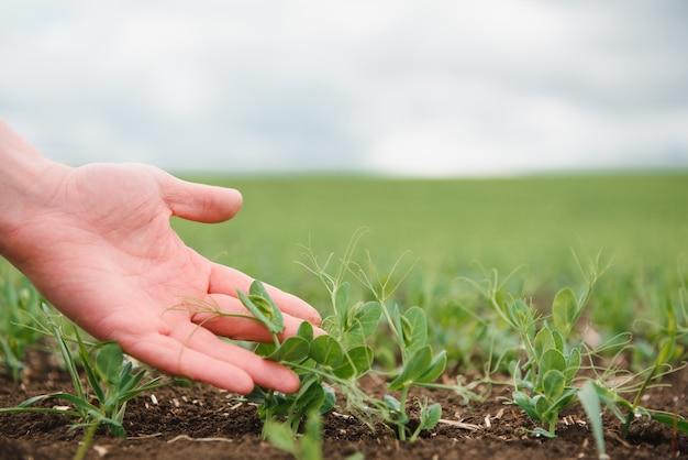 Le fermier étudie le développement des pois légumes. le fermier prend soin des pois verts dans le champ. le concept d'agriculture