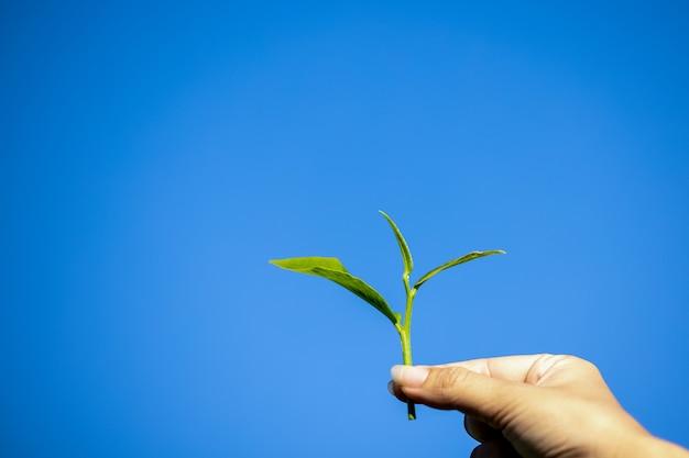 Fermier de femmes de plan rapproché tenant des feuilles de thé sur le ciel d'isolement bleu