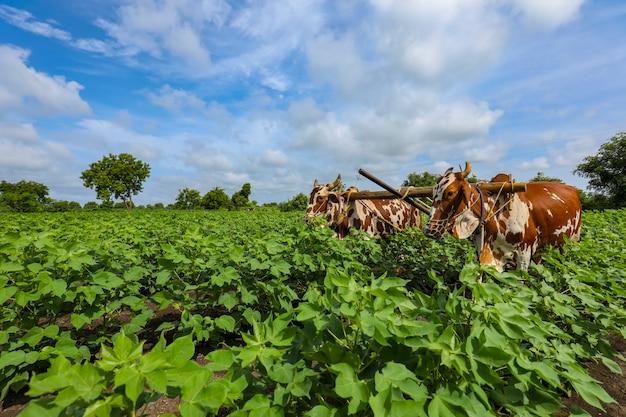 Fermier indien travaillant avec taureau dans son champ de coton