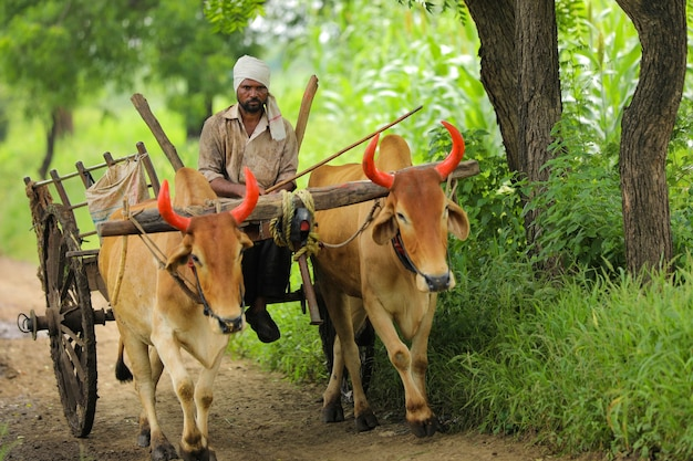 Fermier indien va à la ferme sur charrette à bœufs