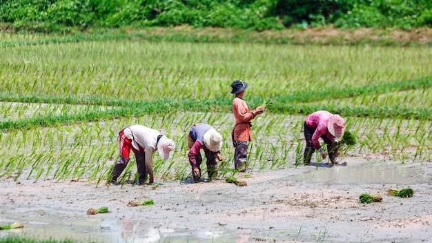 Fermier thaïlandais plantant sur le champ de riz paddy biologique