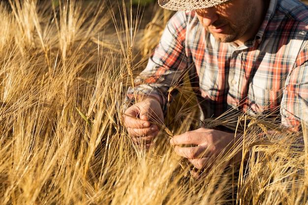 Le fermier vérifie la récolte de blé. le concept d'une riche récolte dans un domaine agricole