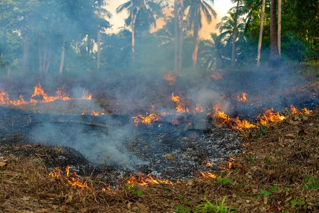 Feu de brousse dans la forêt tropicale de l'île de koh phangan, thaïlande, gros plan. feu de forêt de palmiers brûlant, feu de forêt pendant la journée