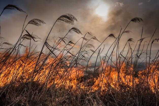Feu dans les roseaux. roseaux séchés poussant dans le feu au coucher du soleil.