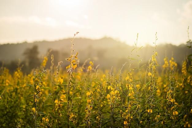 Feu soir fleurs crotalaria ou fleurs jaunes