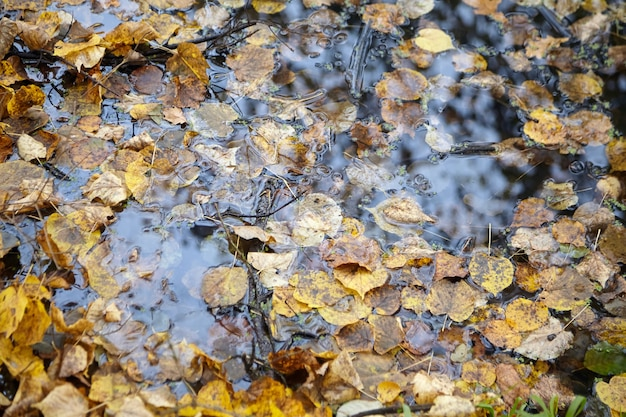 Feuillage D'automne Jaune Flottant à La Surface De L'eau, Temps D'automne Dans Le Parc Au Bord De L'étang, Forêt De Feuillus Photo Premium