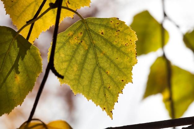Feuillage de bouleau à l'automne, véritable nature d'automne dans la journée
