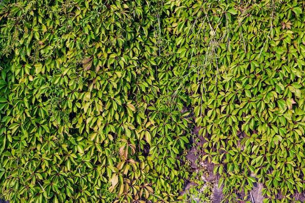 Feuillage dense vert sur un mur en arrière-plan