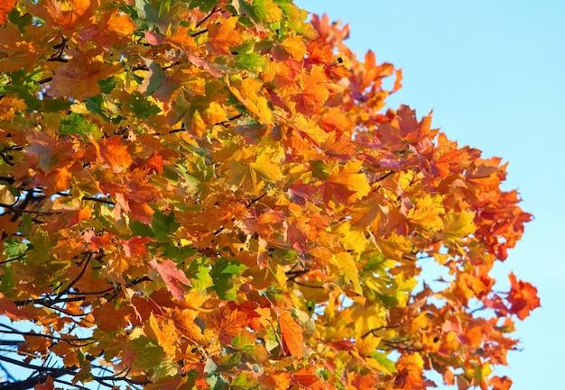 Feuillage d'érable d'automne rouge doré