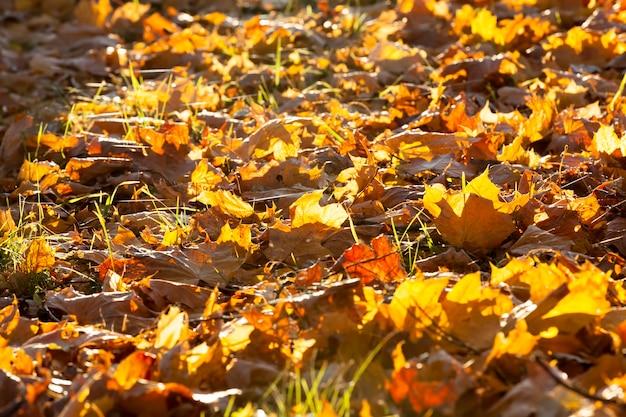 Feuillage d'érable orange et jaune