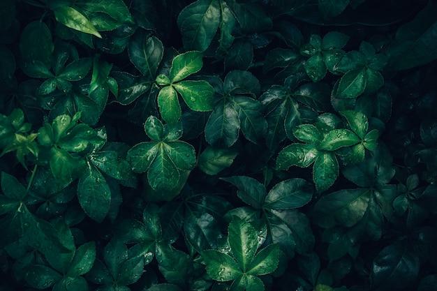 Feuillage de feuilles tropicales en vert foncé avec de l'eau de pluie tombent sur la texture, fond de nature abstraite.