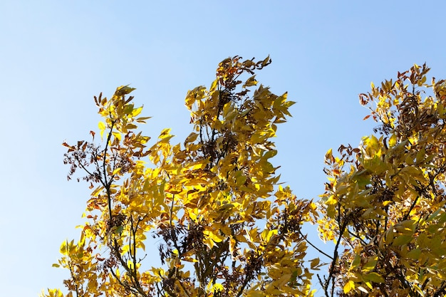 Feuillage de frêne jaune et graines sèches contre le ciel bleu