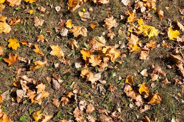 Feuillage jaune de l'érable au sol pendant la chute des feuilles. saison de l'automne