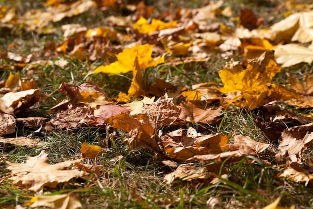 Feuillage jaune de l'érable pendant la chute des feuilles. saison de l'automne