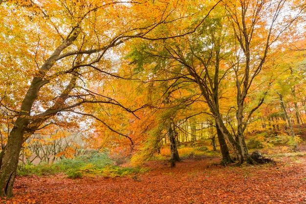Feuillage à monti cimini, latium, italie, couleurs d'automne dans un bois de hêtre