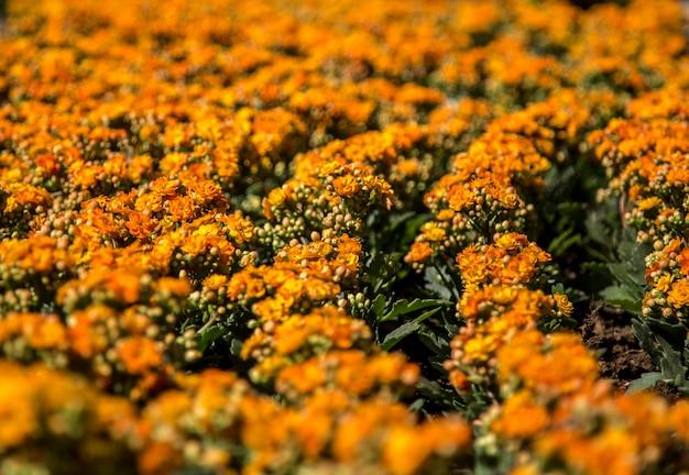 Feuillage des plantes à fleurs kalanchoe