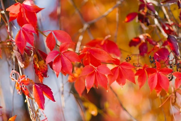 Feuillage rouge vif des raisins sauvages en automne