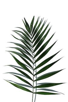 Feuille d'arbre de palmier tropical sur fond blanc