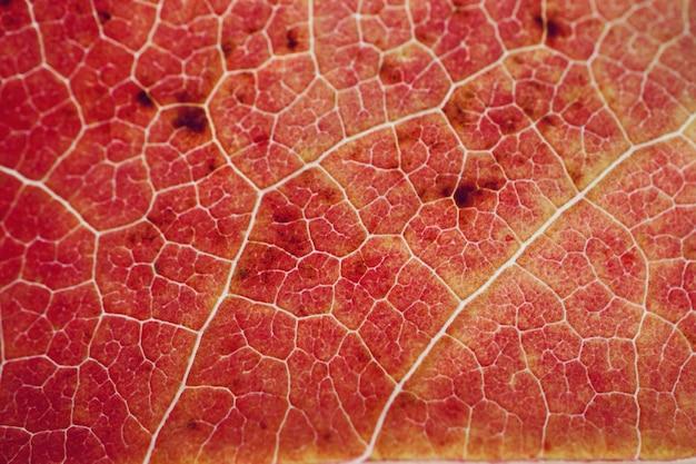 Feuille d'arbre rouge texturé avec des couleurs d'automne en saison d'automne, fond rouge