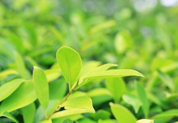Feuille d'arbre vert frais sur un arrière-plan flou dans le jardin d'été avec espace copie et motif propre.