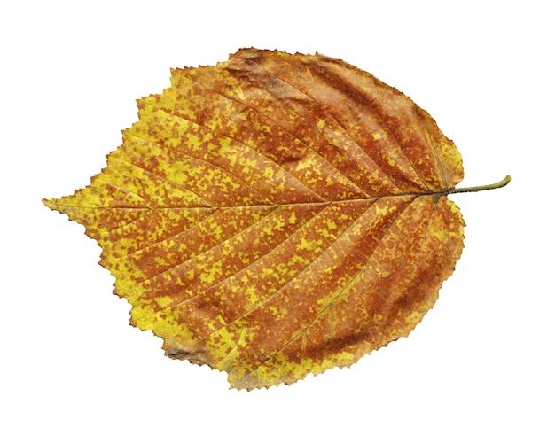 Feuille d'automne jaune d'aulne noir isolé sur blanc
