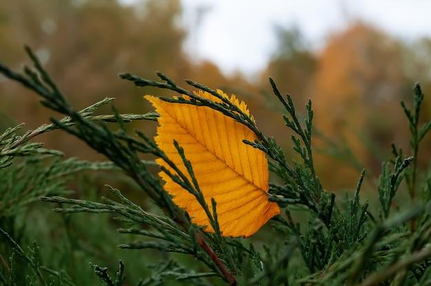 Feuille d'automne jaune sur buisson vert