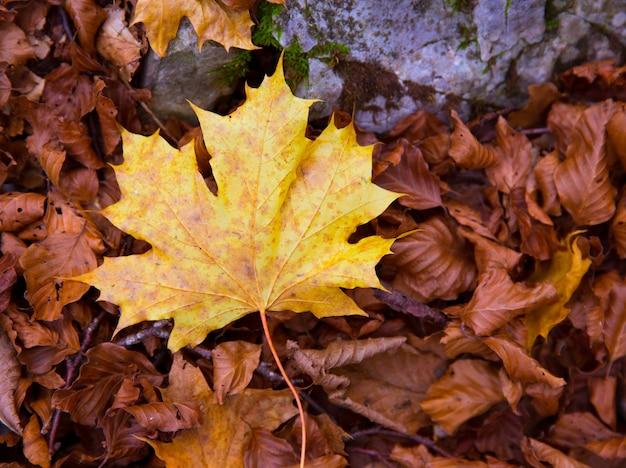 Feuille d'automne jaune dans une forêt de hêtres pyrénées ordesa