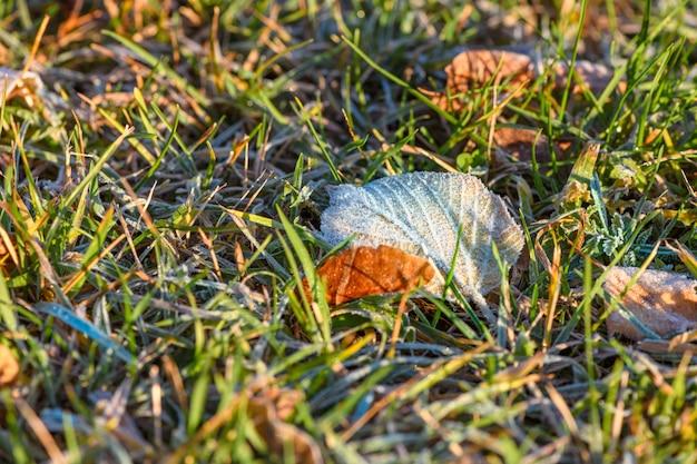 Feuille d'automne jaune recouverte de la première gelée au sol dans l'herbe verte à la lumière du soleil. fermer.