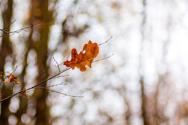 Feuille d'automne solitaire de chêne sur un arbre de la fin de l'automne_