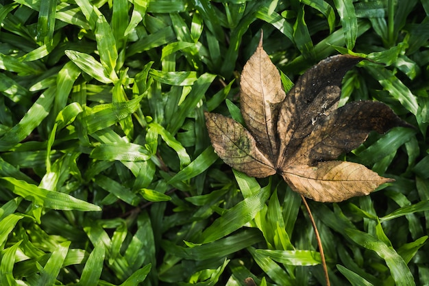 Feuille d'automne tombée jette une ombre pointue sur un champ vert
