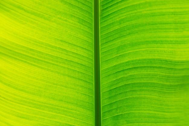 La feuille de banane verte fraîche peut être utilisée pour les arrière-plans.