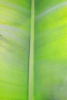 Feuille de banane verte
