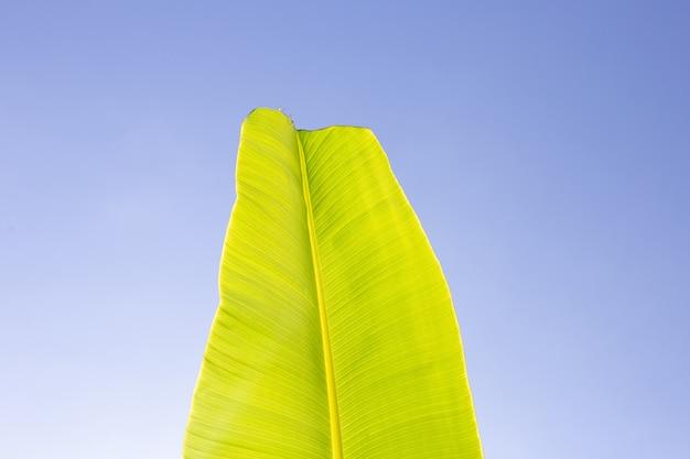 Feuille de bananier sur fond de ciel bleu.
