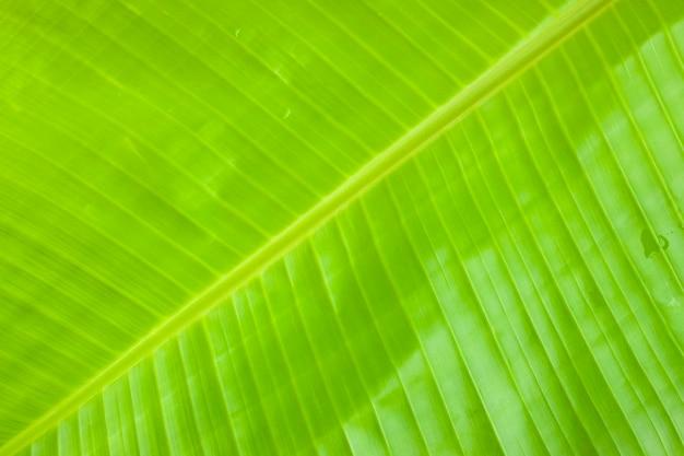 Feuille de bananier fond texturé de feuille de bananier vert frais