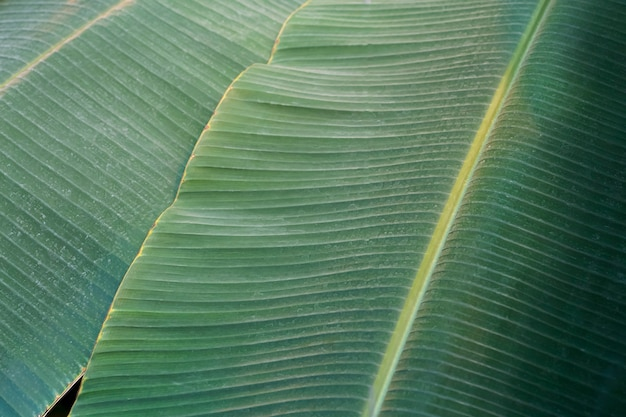 Feuille de bananier gros plan texture feuille de bananier tropical dans le climat de la jungle tropicale photo de haute qualité